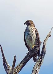 hawkish... (al-ien) Tags: florida hawk birdofprey floridabirds