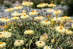 Everlasting Daisies 162 8617 (Ken Griffiths - Naturally wild Photography) Tags: everlasting