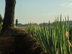 Negi (odeleapple) Tags: olympus e5 zuiko automacro 50mm hansa mount adapter negi onion