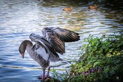 Grey Goose (_ME_photography) Tags: gans goose nymphenburg tier ente duck wasser lightroom lr5 canon eos 80d tamron 70 300 mnchen munich bayern bavaria schloss castle pflanzen weisabgleich water flgel greylag graugans gray grey wing schlosspark park