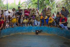 Pelea de Gallos (Areo, Edo. Monagas - Venezuela) (jsg²) Tags: caminorealdeareo venezuela veneadictos paisajesdevenezuela bellezasdevenezuela jsg2 fotografíasjohnnygomes johnnygomes fotosjsg2 américadelsur suramerica josétomásboves estadomonagas areo boves batalladeúrica independenciadevenezuela monagas cockfight gamecock avesfinasdecombate peleadegallos gallosdepelea riñadegallos