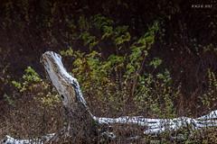 """27.10.2012, """"erster Schnee"""" in Leipzig, Schkeuditz (joergpeterjunk) Tags: leipzig schkeuditz outdoor auwald totholz ersterschnee canoneos50d canonef100mmf28lmacroisusm baumstamm"""