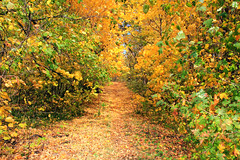 Golden Path (gráce) Tags: path pathway way walk trail track park forest wood tree trees autumn autumntints fall fantasticnature fallenleaves leaves leaflitter coloursofautumn colorful canon canoneos550d nature naturewatcher naturesfinest outdoor