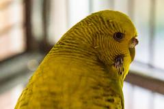 Birdy (Sheptonian) Tags: pets cute birds budgie yellow