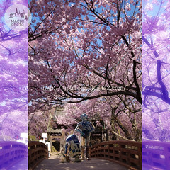(finalistJPN) Tags: discoverjapan visitjapan cherryblossoms fullbloom cherrytrees bridge presentingpicturesandphotos ppap japanguide discoverychannel nationalgeographic starwars r2d2 c3po japanesespringseason