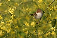 Busy Birds 2: Nice Nest (audiodam) Tags: australianbirds australianwildlife fairy w