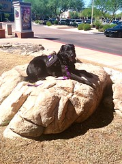 Service Dog Addie (Service.dog.addie) Tags: arizona scottsdale rock workingdog assistancedog servicedog bordercolliemix blacklab labradorretriever retriever labrador mutt mixedbreed black lab dog