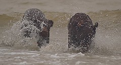 Blend into your surroundings.. (Michael C. Hall) Tags: dog labrador splash waves gallop running wading paddling sea