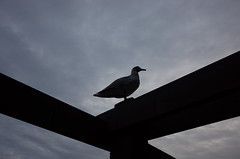Shadow Gull (panfriedcharlie) Tags: seagull shadow sky victoria sillouette