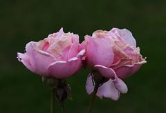 DSC_3197 (PeaTJay) Tags: nikond750 reading lowerearley berkshire macro micro closeups gardens outdoors nature flora fauna plants flowers rose roses rosebuds