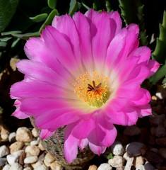 Cactus flower open in the sun (Nelson~Blue) Tags: cactus flower echinocereus pectinatus rubispinus
