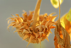 Pas de graine cette anne - No seed this year (p.franche malade -sick) Tags: sony sonyalpha100 objectifminolta minoltalens minolta beercan vintage hdr dxo flickrelite bruxelles brussel brussels belgium belgique belge europe pfranche pascalfranche schaerbeek schaarbeek fleur flower macro bokeh dry sec seed graine superbokek sunflower tournesol nature garden jardin light lumire