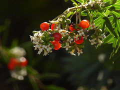 nicht identifiziert im Baumheiden-Buschwald (Fayal-Brezal) (1) (Chironius) Tags: unidentified plant teneriffa spanien blte blossom flower fleur flor fiore blten    frucht fruit frutta owoc fruta  frukt meyve    buah puertodelacruz spain  espaa tenerife