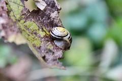 Resting Snail (benjaminfuchs) Tags: sleeping animal snail 18250 sigma macro 650d eos canon