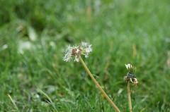 (careth@2012) Tags: dandelion flower petals nature landscape