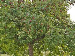 Cremlingen, .... pfel (bleibend) Tags: 2016 cremlingen pfel apples obst olympus olympusomd olympusem5 omd em5 mft m43 m43cameras natur nature