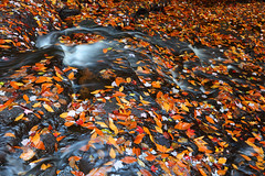 Don't Forget to Look Down! (Bryan Carnathan) Tags: colorfulleaves fallleaves fallfoliage leaves wetleaves fall autumn outdoor outdoorphotography nature naturephotography naturelovers stream brook wet usa unitedstates benton rickettsglen rickettsglenstatepark statepark bright colorful bryancarnathan canon canonusa eos 5dsr canoneos5dsr canonef1635mmf28liiiusmlens gitzo arcaswiss wideangle 35mm photo photography phototips photographytips