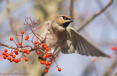 Waxwings (47 of 202) (ianrobertcole1971) Tags: waxwing bird berries winter invasion