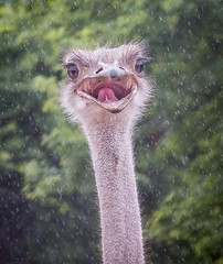 Ostrich Singing in the Rain (Chris Willis 10) Tags: ostrich bird rain south africa mouth tongue