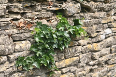 Ivy Wall (jiffyhelper) Tags: canon eos 350d bibury gloucestershire dry stone wall ivy leaves closeup lichen cotswolds