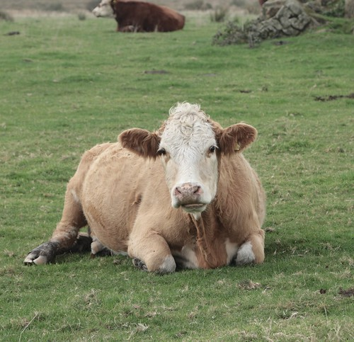 Chilled out cow