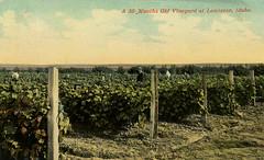 A 30 Months Old Vineyard, circa 1915 - Lewiston, Idaho (Shook Photos) Tags: postcard postcards lewistonidaho lewiston idaho nezpercecounty vineyard wine grape grapes agriculture food vine vines grapevine post posts