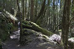 IMG_5540-Philosoher Falls Waratah-Elisabeth track-A (geoffgleave) Tags: philosopherfallstrack waratah forest