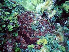 Esponja (diananicolepuerto) Tags: sponge esponja arrecife sanandres marinelife buceo scubadiving caribbean nikon colombia ocean sea coral