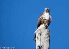 Red Tailed Hawk (Buteo Jamaicensis) (tavarez.niurka) Tags: redtailedhawk hawk buteo buteojamaicensis jamaicensis alcon halcon faucon falco falco falke   taka