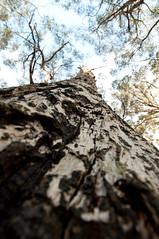 Tasman Peninsula (Cape Raoul) - Look up (m_neumann) Tags: australien caperaoultrack tasmanien tasmania australia discovertasmania tree bork baum rinde caperaoul cape raoul tasmannationalpark