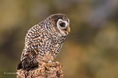 Chaco Owl - such a fun fella D75_6013.jpg