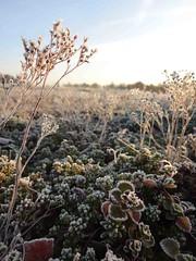 Sedum im Winter (NIRA GmbH) Tags: sedum frost winter greenroof gründach