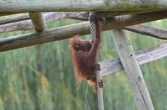 Top of the world (dfromonteil) Tags: orangoutan ape singe animal baby nature bokeh wow