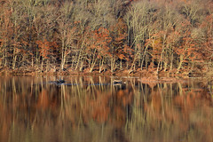 Trouble is Passed (MTSOfan) Tags: trees lake knightlake reflection autumn struggle symmetry