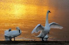 Swans on Marine Lake, New Brighton, Wirral, England (bikerchick2009) Tags: swans lake marine sunset golden newbrighton merseyside wirral england water sunsetevening birds