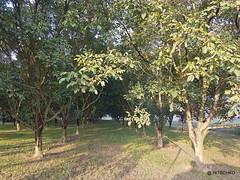 Noix de Grenoble (HITSCHKO) Tags: noixdegrenoble echtewalnuss juglansregia laubbaum walnussgewchse juglandaceae walnuss walnussbaum baumnuss nutzpflanze nutzholz isre drme savoie france frankreich