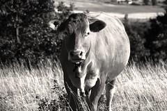 Jolie Tarine (S.pT) Tags: vache cow bw noir et blanc black