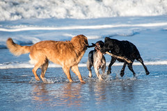 Play with stick (Flemming Andersen) Tags: animal outdoor seaside dogs hund nature sand water bedstedthy northdenmarkregion denmark dk