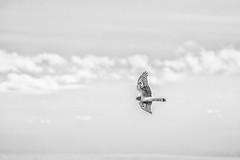 Freedom Hawk (Dex Horton Photography) Tags: northernharrier hawk birds inflight bif blackandwhite monochrome mono bw ladner bc delta frasierriver canada britishcolumbia outdoors outside wildlife bestof dexhorton
