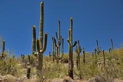 Many Arms of Saguaro Cactus (thor_mark ) Tags: nikond800e day1 coronadonationalforest lookingsw capturenx2edited colorefexpro desert desertlandscape sonorandesert saguaro cactus carnegieagigantea saguarocactus outside landscape nature sunny blueskies cactusacrossdesertlandscape catalinahighway generalhitchcockhighway pimacounty skyislandscenicbyway mountlemmonhighway arizonaforesthighway39 intermountainwest southwestbasinsandranges southeastarizonaranges huachucaarea santacatalinamountains desertplantlife arborescenttreelikecactus project365 arizona unitedstates