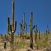 Many Arms of Saguaro Cactus