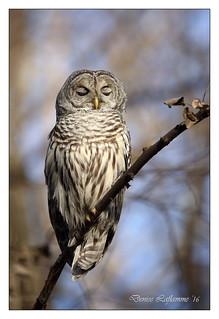1E1A3100-DL   -   Chouette rayée / Barred Owl.