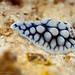Dendrodoris Carbunculosa Juvenile