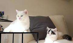 Sweeties in sunshine #goboogi #chobee #munchkin #cat # # # # # # # # # # # # (Goboogi.Munchkin) Tags:     goboogi  munchkin  chobee  cat