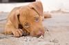 Dog (miltonferreira.mf1) Tags: dog cachorro bichos doug miltonferreira america americadosul brasil maranhão santaines 60d 1855