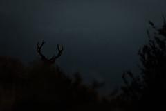L'heure du brame (Pito-pito) Tags: brame brameducerf cerf cerflaphe cervuselaphus animal animaux wild wildlife nature alpesmaritimes alpes mercantour parcdumercantour parcnationaldumercantour nikon nikond750 nikkor tamron tamron150600 lumire light dark sombre bois fort montagne mountain mountains