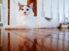 Chip (Garen M.) Tags: olympuspenf zuiko17mmf18 cat chip