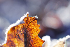 frost (I) explored (bauingenieuse) Tags: blatt leave garten garden frost ice frozen makro macro natur bokeh 100mm 2016 bauingenieuse herbst winter morning morgen kristall eiskristalle kontrast explored