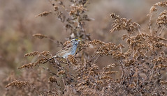 White and Gold (Bonnie Ott) Tags: whitethroatedsparrow