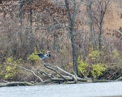 Great Blue Heron- Soft Landing! (dbking2162) Tags: shore lake lakes heron birds blue water nature wildlife muncie indiana